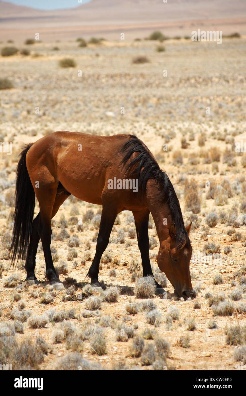 Wild horses near Aus, Namibia - Stock Image