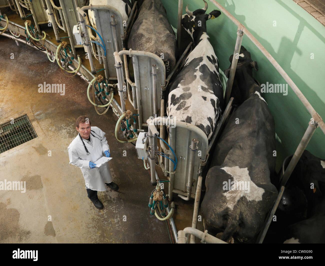 Veterinarian working in milking parlor - Stock Image