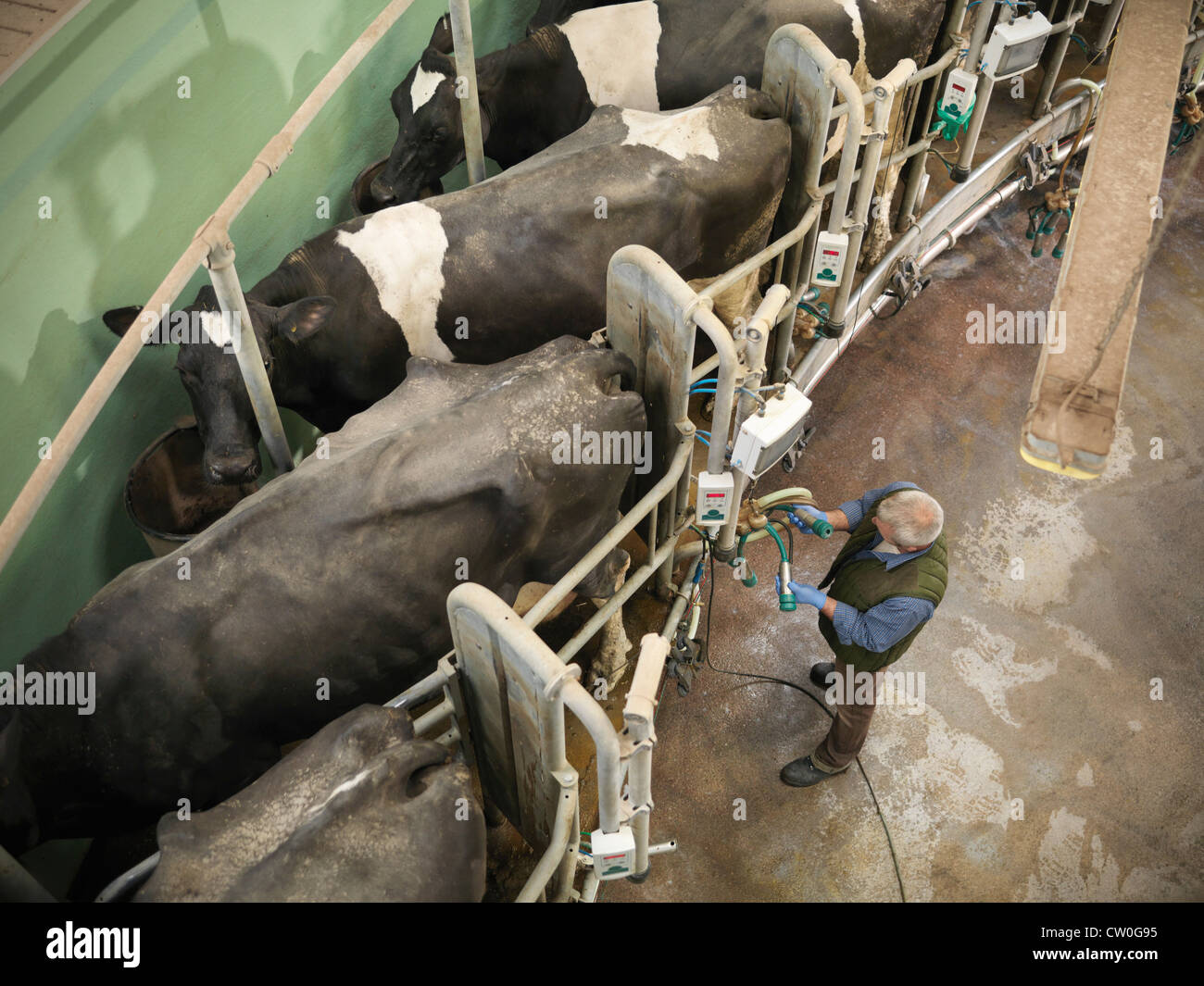 Farmer working in milking parlor - Stock Image