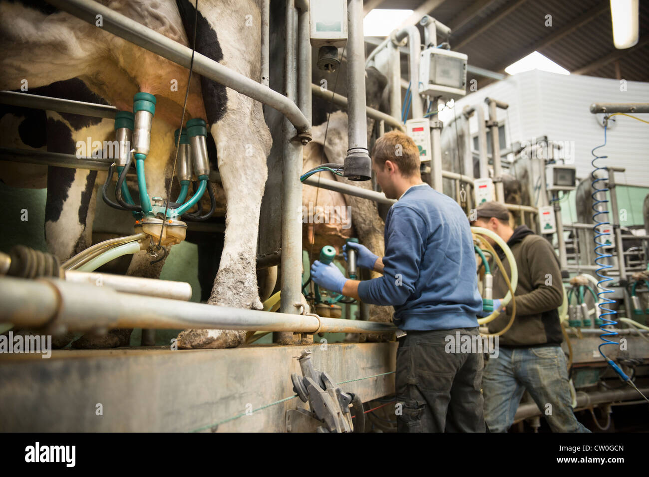 Farmer hooking cows to milking machine - Stock Image