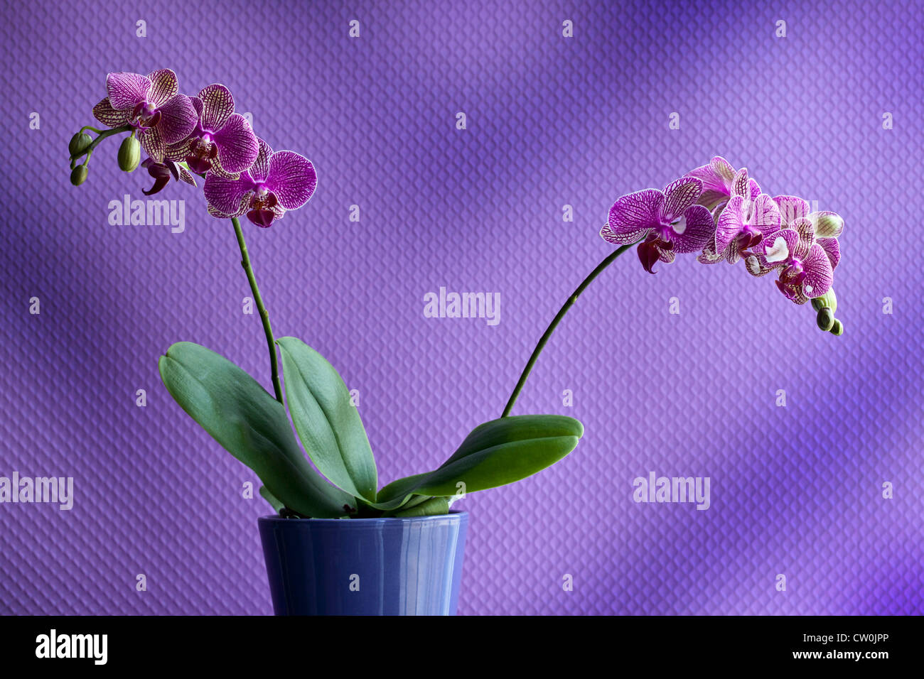 Potted orchid flower indoors - Stock Image