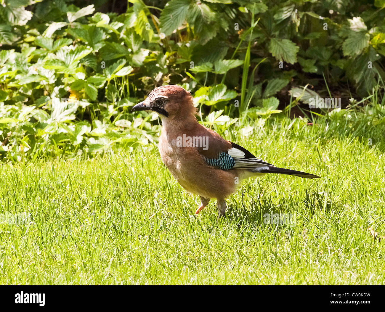 Blue Jay Looking for Food in a Cheshire Garden England United Kingdom UK Stock Photo