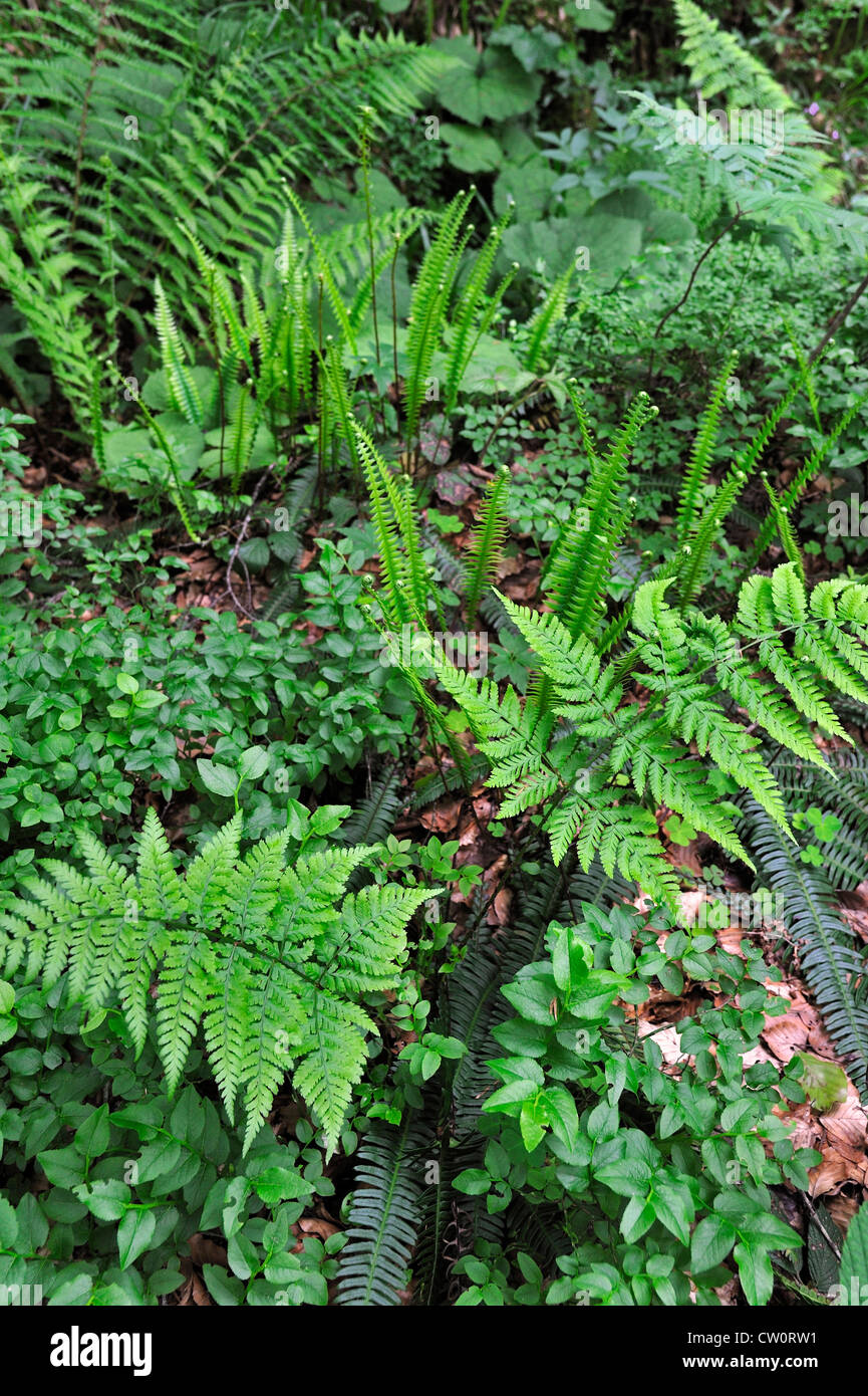 Undergrowth vegetation in forest showing ferns and bramble in spring, Pyrenees, France - Stock Image