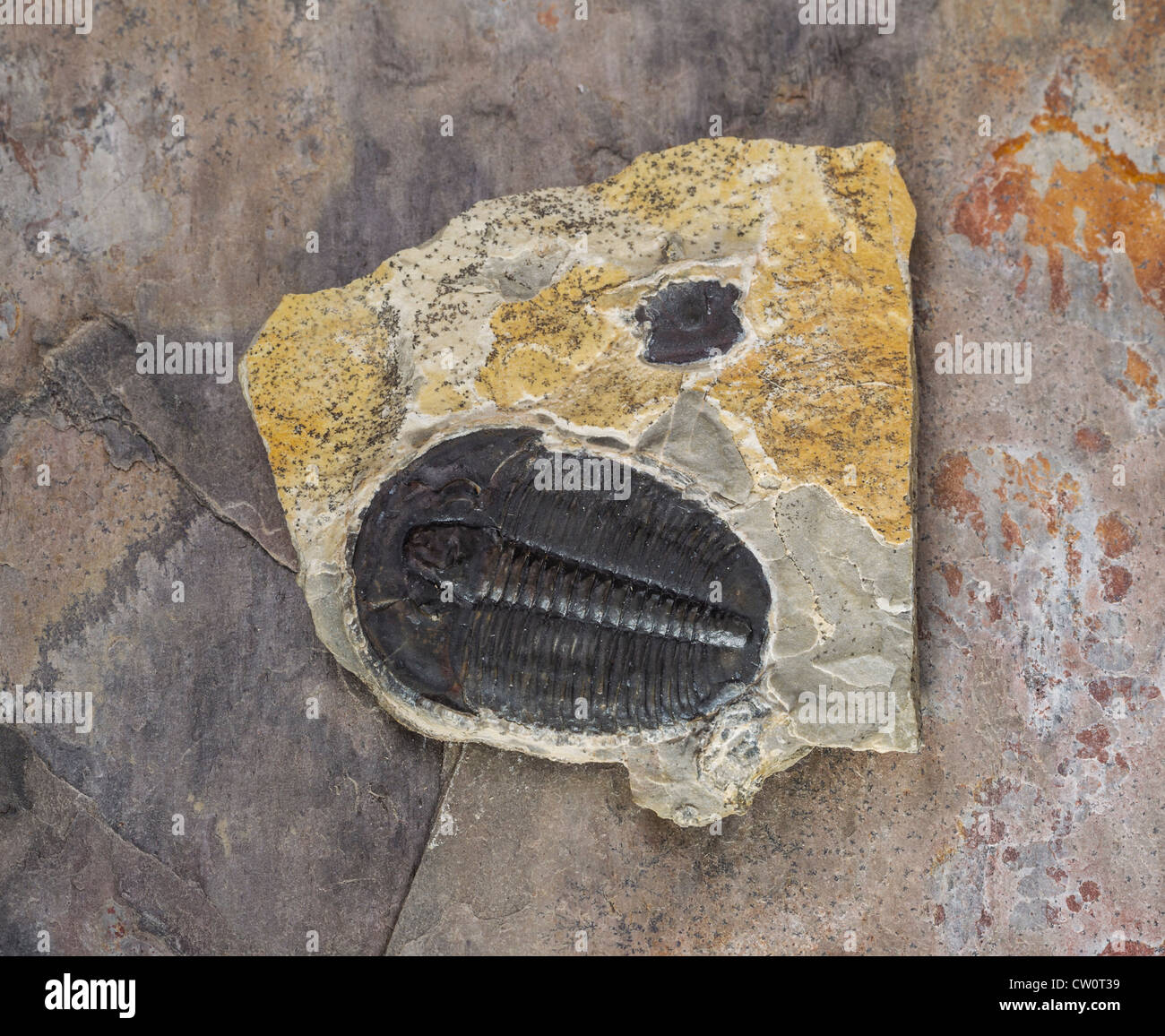 Whole Trilobite in limestone from Utah - Stock Image