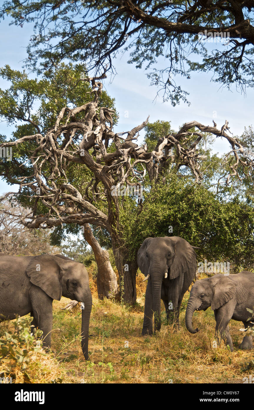 Elephants in Botswana, Africa. - Stock Image