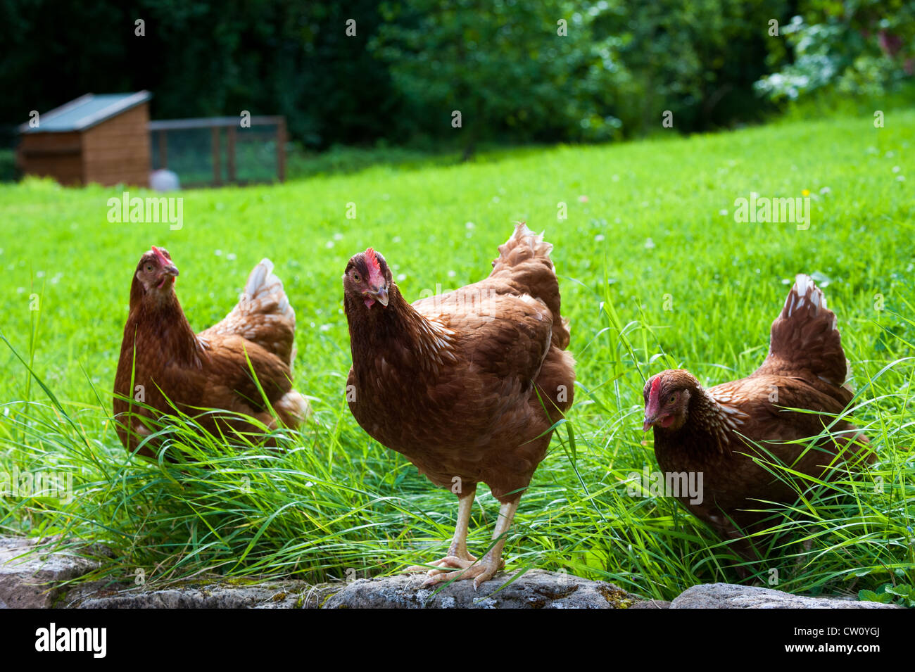 Chickens in a Shropshire garden, England - Stock Image
