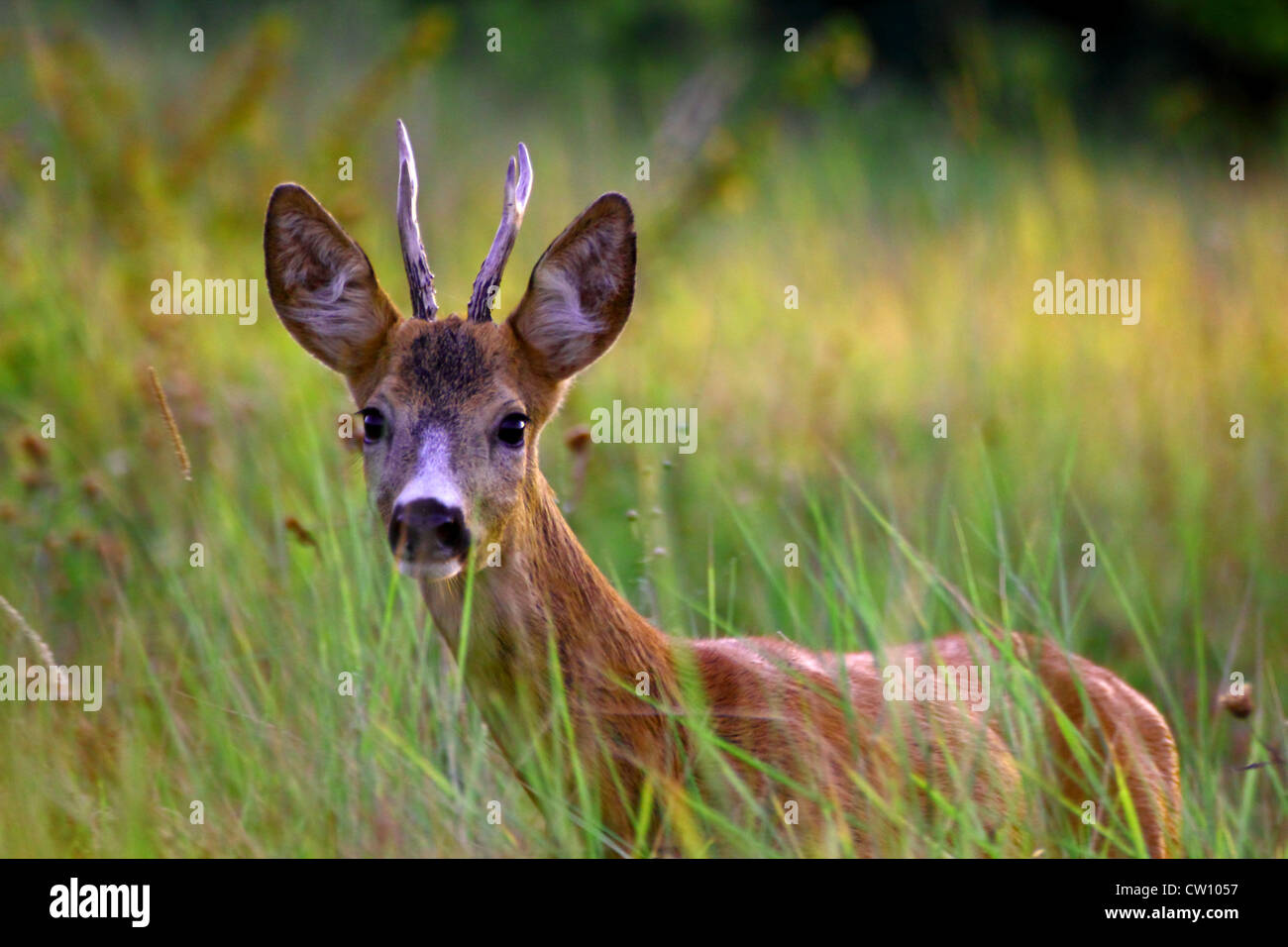 young roe deer buck coming at a gamecall - Stock Image