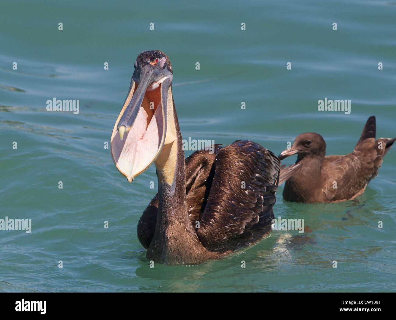 Brown Pelican with Empty Gular Pouch - Stock Image