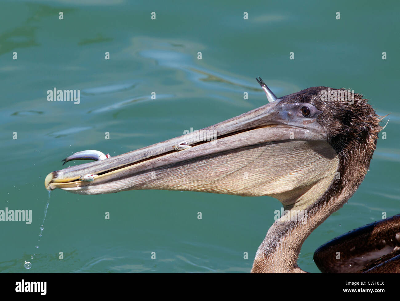 Brown Pelican with Gular Pouch full of  Fish - Stock Image