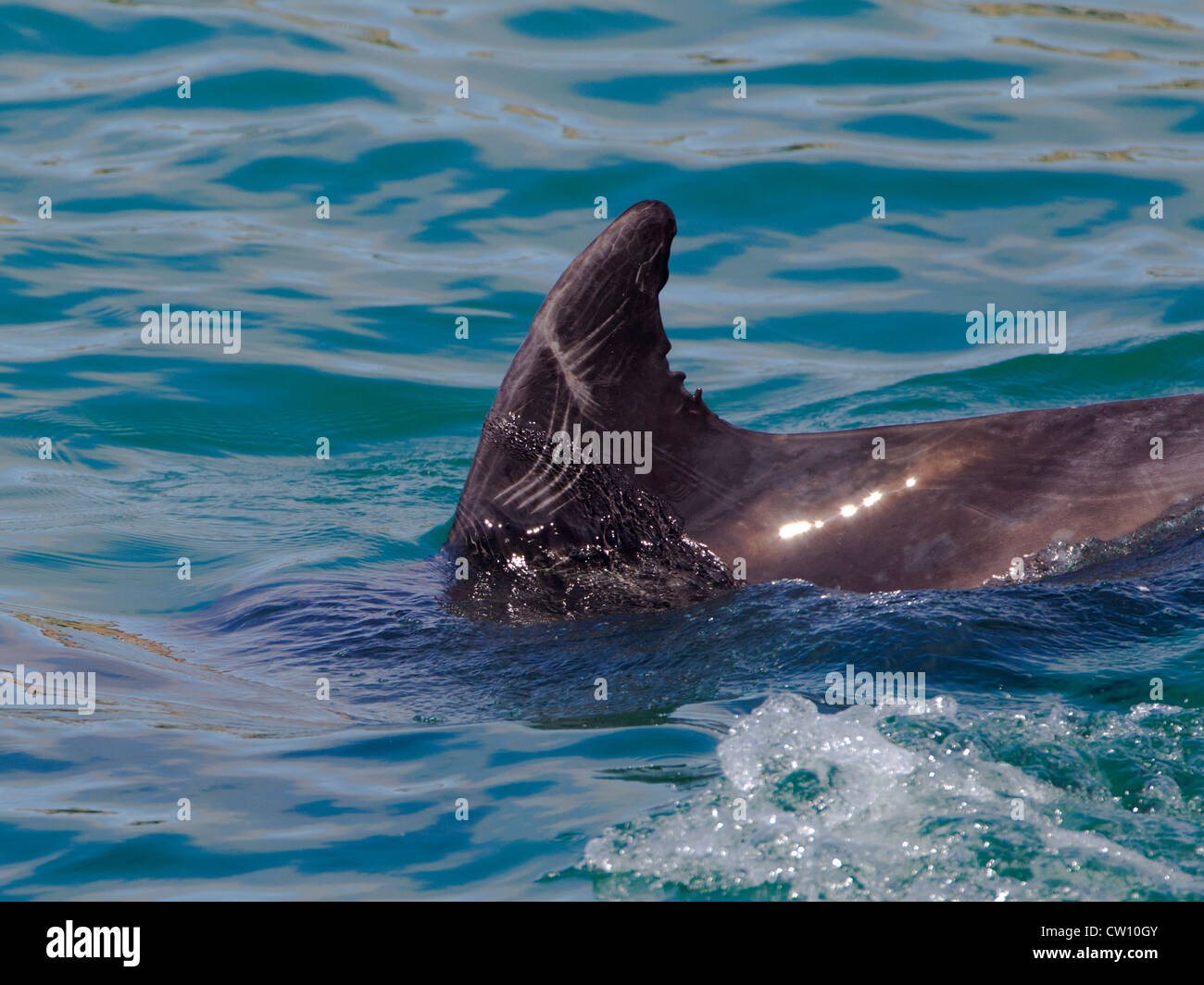 Bottlenose Dolphin with scars on dorsal fin - Stock Image
