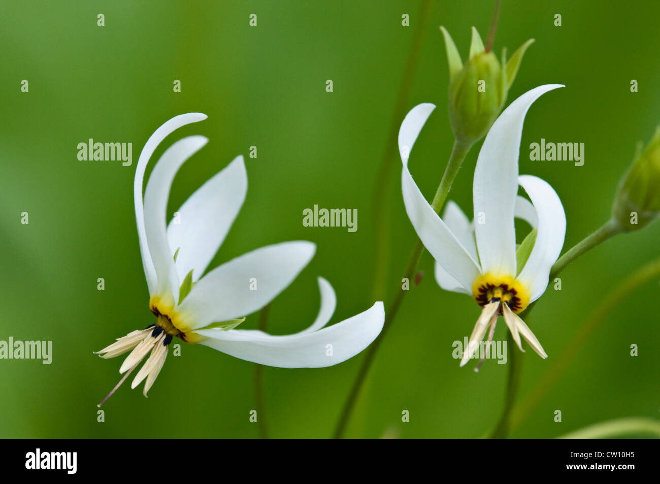 Shooting Star Wildflower - Stock Image