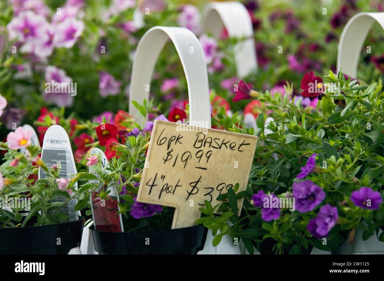 Mini Petunias for Sale at Flower Shop in Buckner, Kentucky - Stock Image