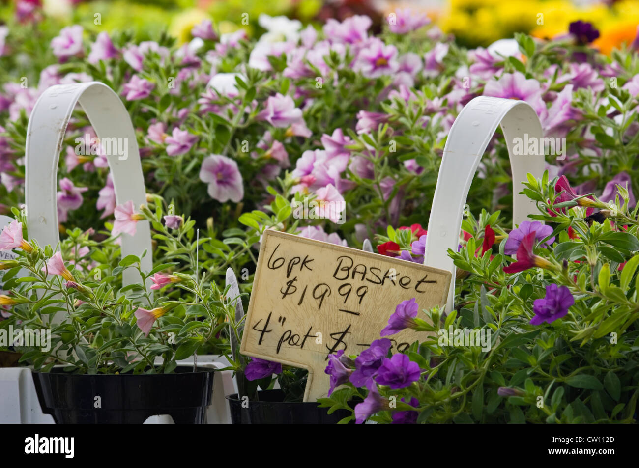 Mini Petunias for Sale at Flower Shop in Buckner - Stock Image