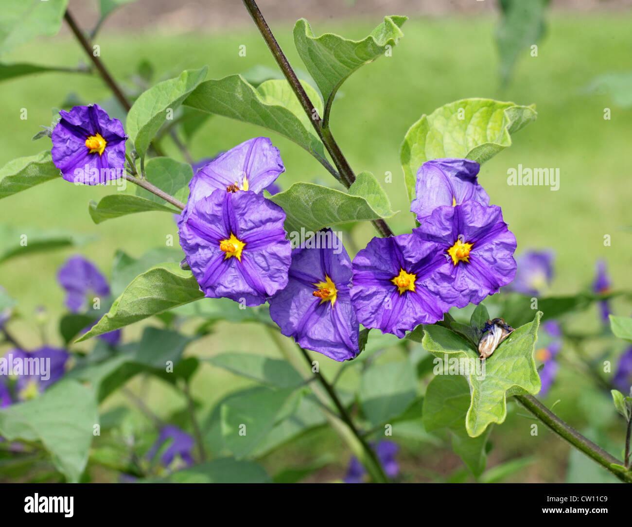 Paraguay Nightshade aka Blue Potato Bush, Solanum rantonnetii, Solanaceae - Stock Image