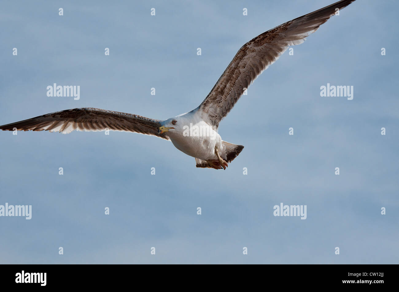 sea gull ( Laridae) in flight, Essaouira, Morocco - Stock Image