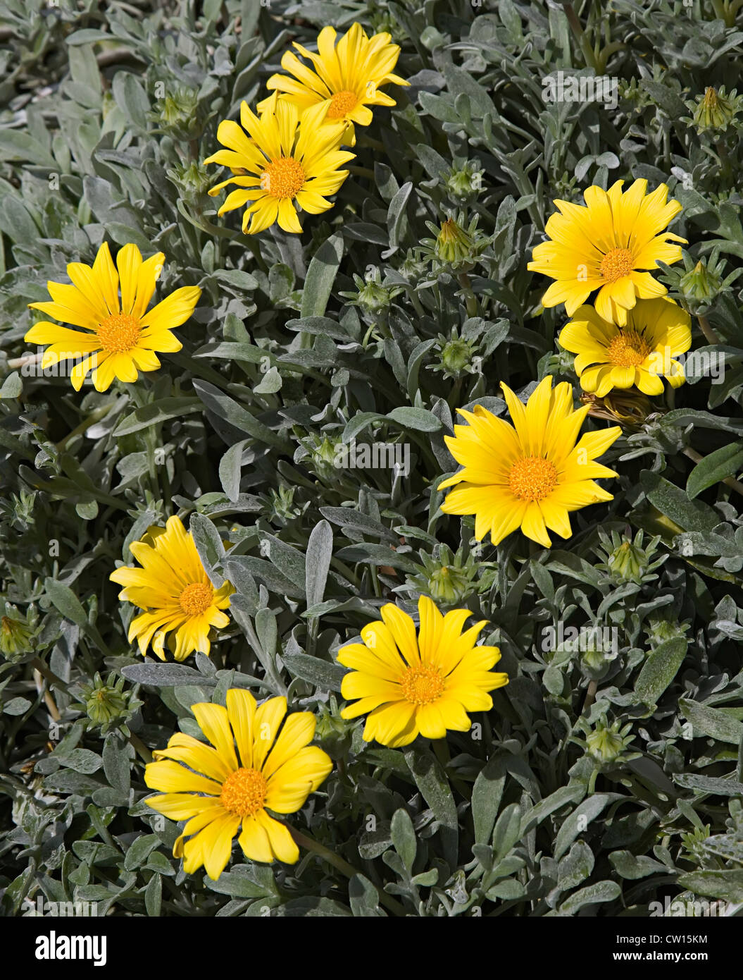 Yellow flower in the Asteraceae family on the coast of Malaga, Spain - Stock Image