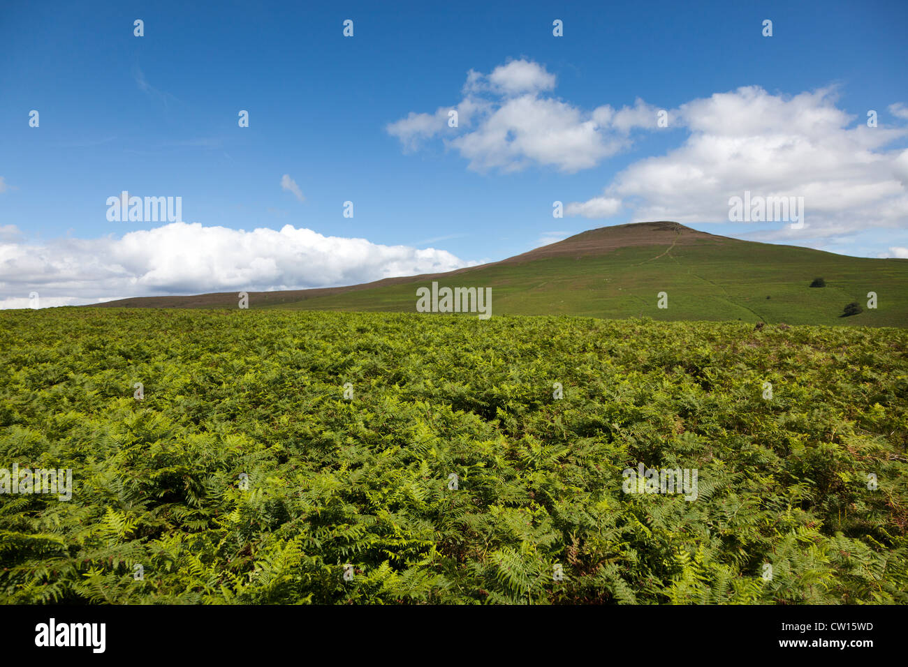 Bracken (Pteridium) growing on the slopes of the Sugar Loaf mountain, Abergavenny, Wales, UK - Stock Image