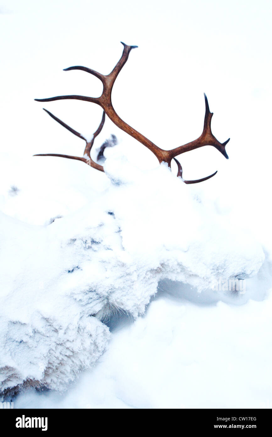 Young reindeer died in the snow, Kuusamo, Finland - Stock Image