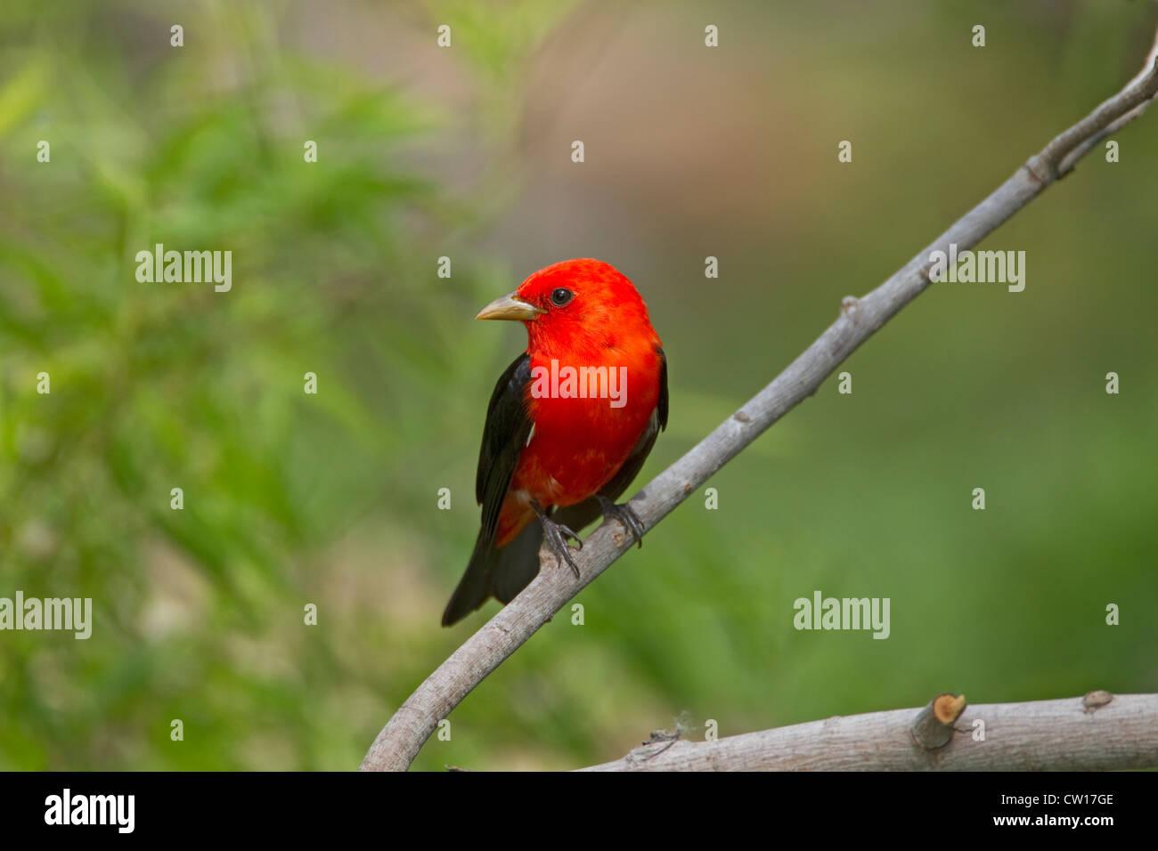 Scarlet Tanager Piranga olivacea Port Aransas Texas. USA BI022940 - Stock Image