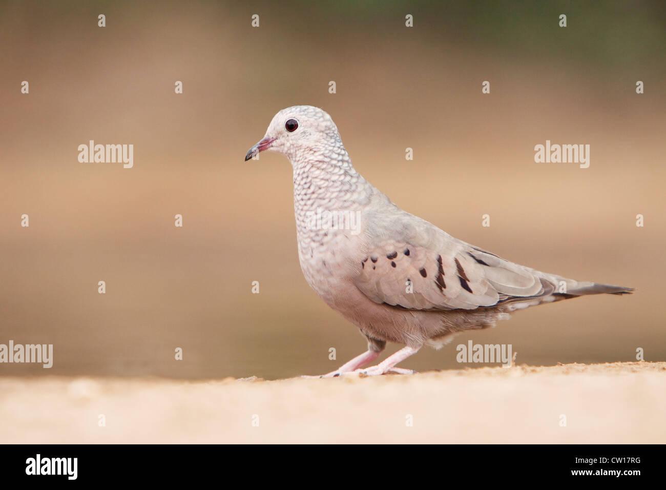 Ground Dove Columbigallina passerina South Texas, USA BI023008 - Stock Image