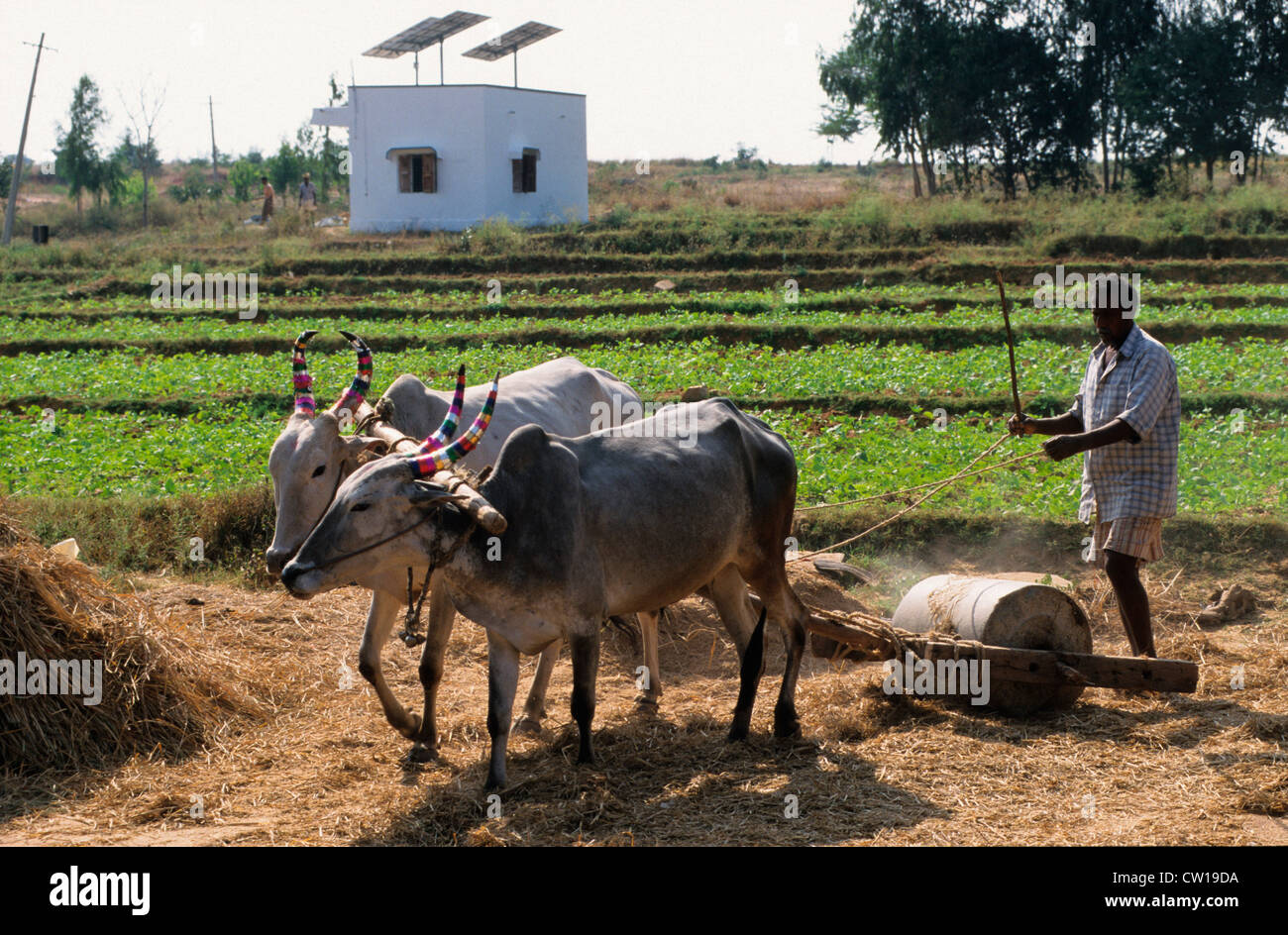 INDIA farmer trashes grain with ox, behind Photovoltaic panel at farm house near Bangalore - Stock Image