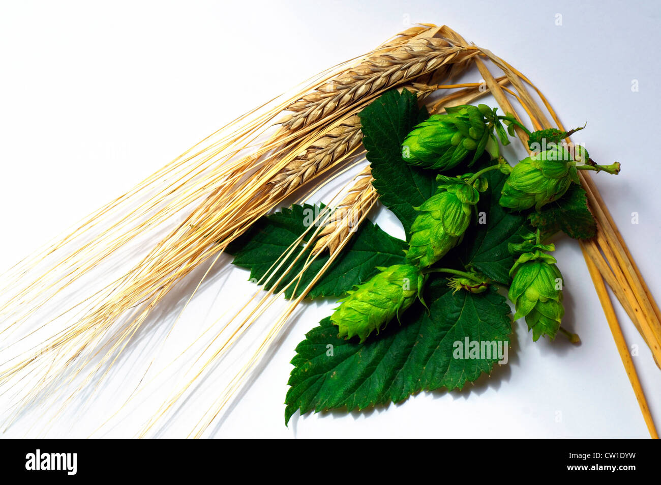 Ripe Barley and Hops, the two main ingredients of beer. - Stock Image
