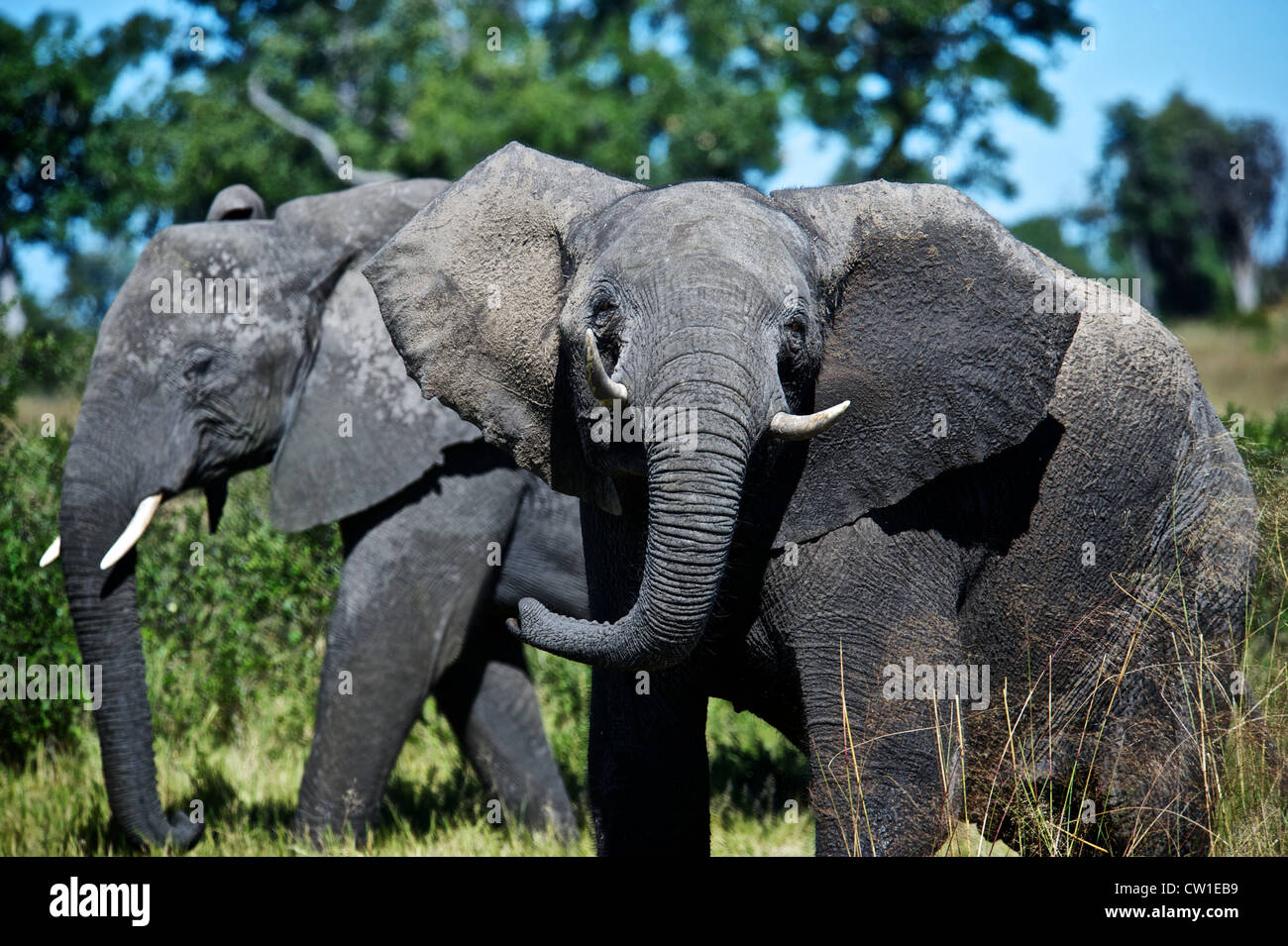 Elephant on safari trip. Duba, Africa. - Stock Image