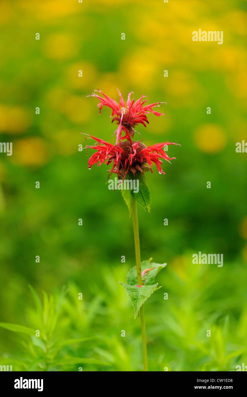 Wild Bergamot. Red bee balm, (Monarda didyma), Greater Sudbury, Ontario, Canada - Stock Image