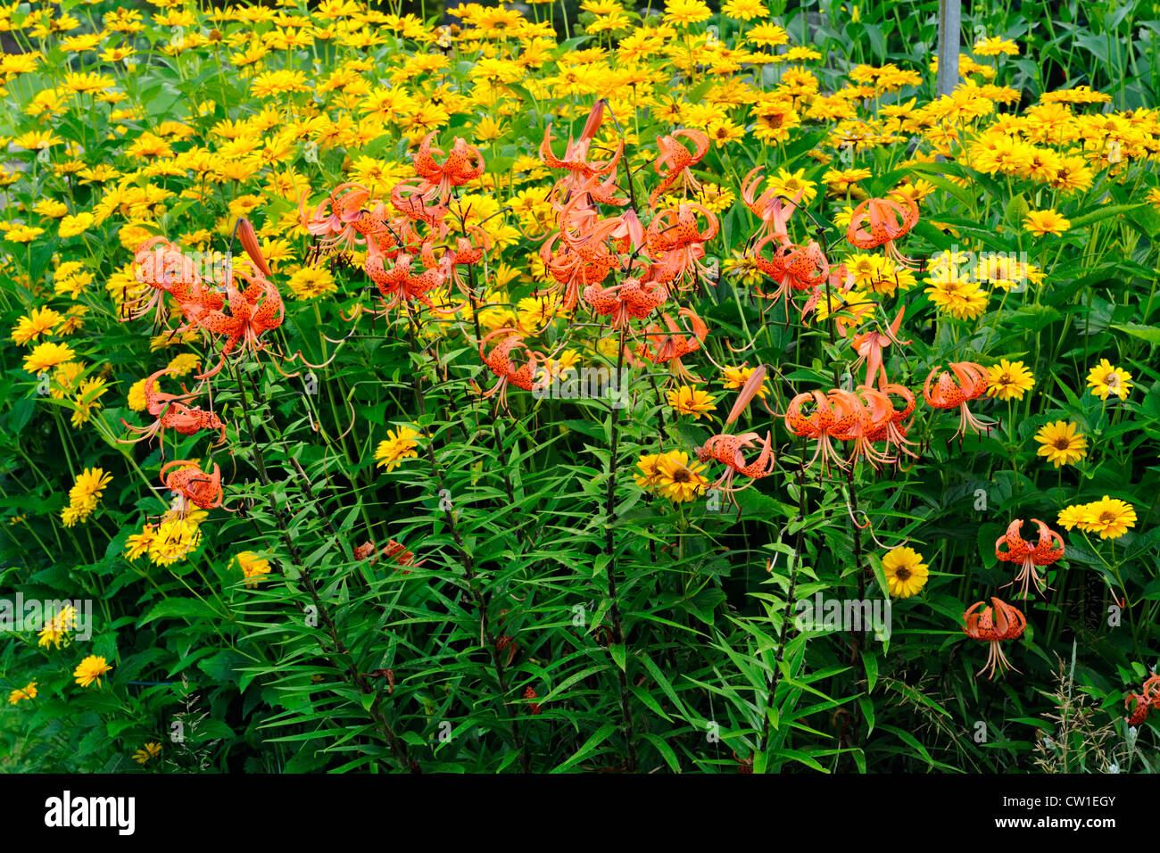 Tiger Lily Lillium Spp With Heliposis In A Naturalized Garden