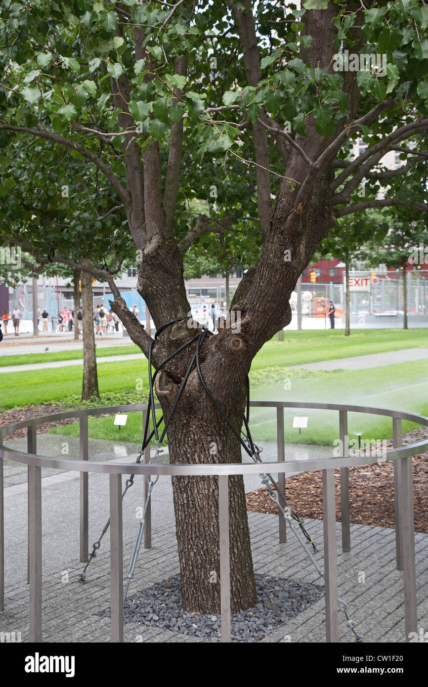 New York, NY - The Survivor Tree at the 9/11 Memorial. - Stock Image