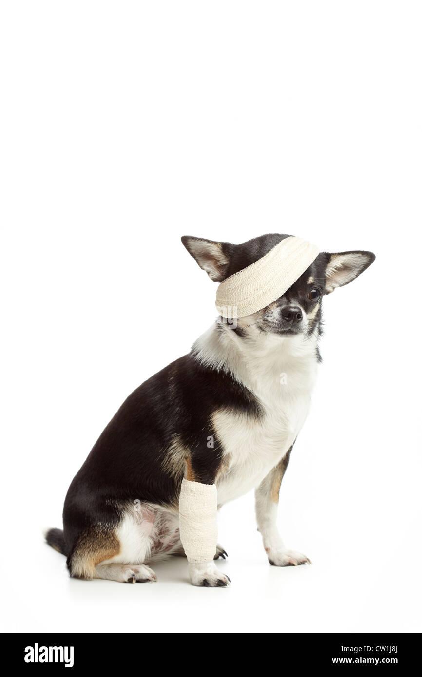 Injured chihuahua dog with bandages on white background - Stock Image