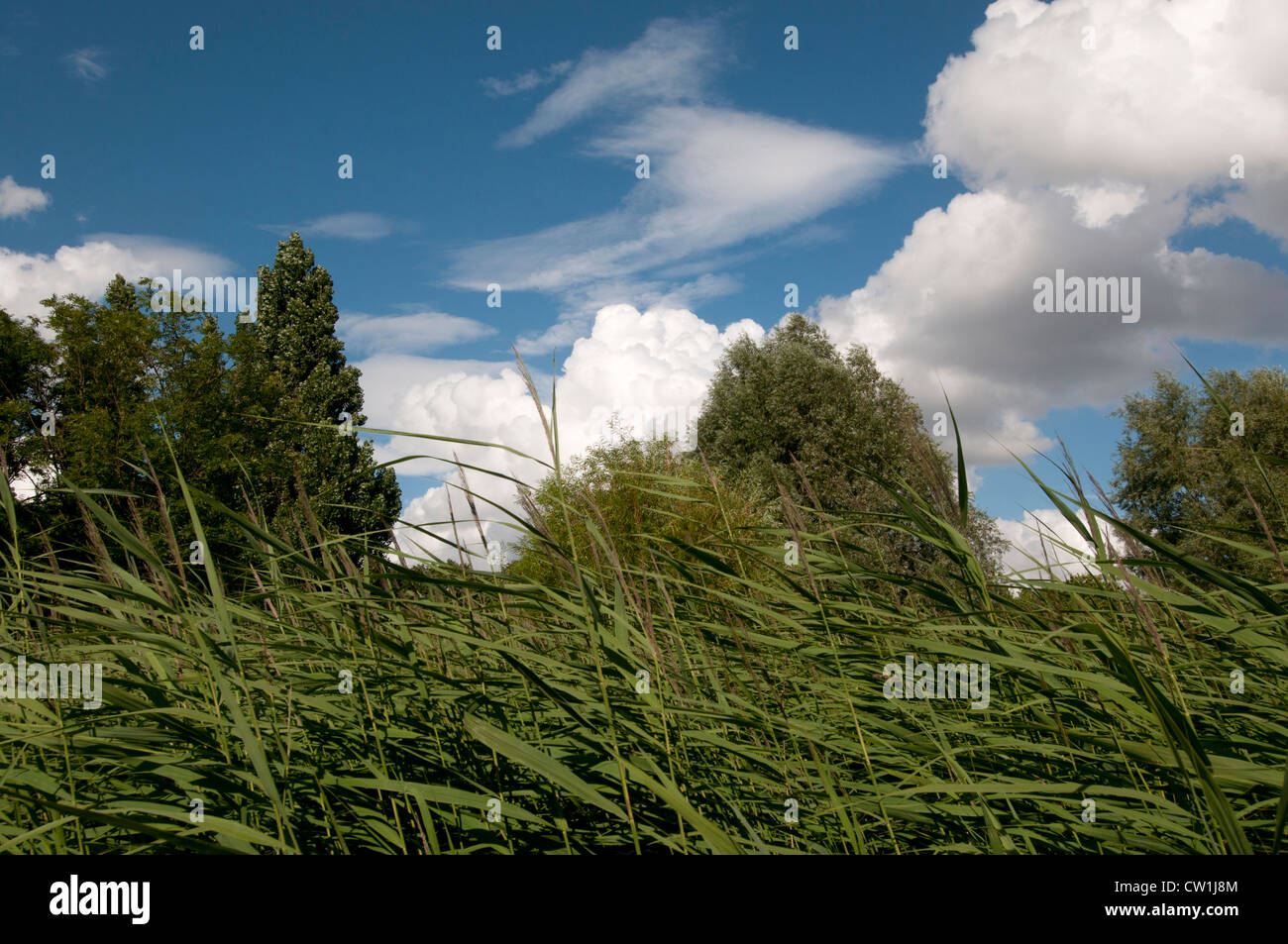 London Mile End Park - summer landscape . Water reeds , trees and fluffy clouds Stock Photo