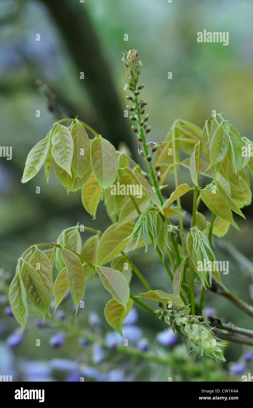 The Leaves Of Wisteria With Flower Buds Uk Stock Photo 49824106 Alamy
