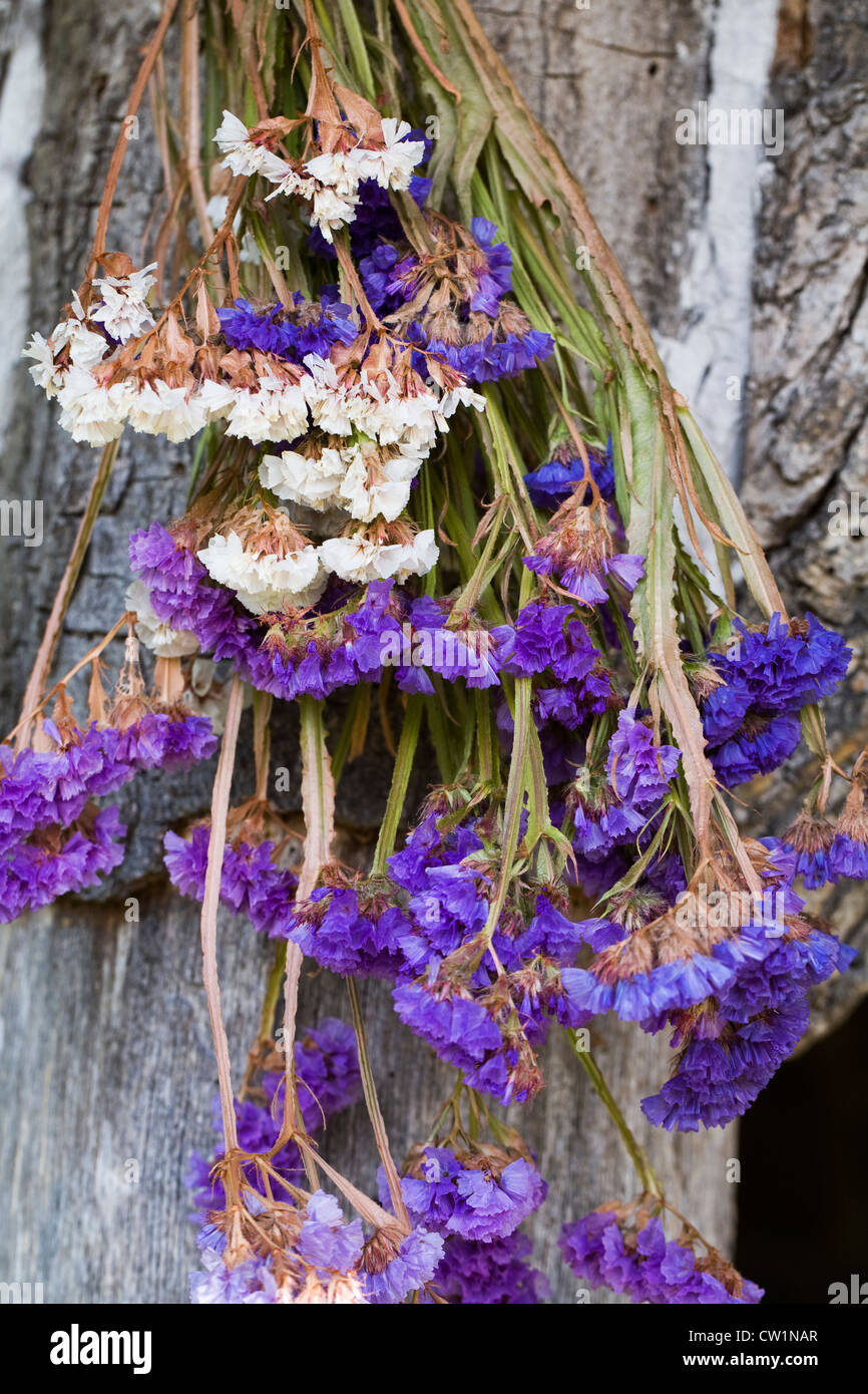 Limonium flowers. Statice drying in the sunshine. - Stock Image