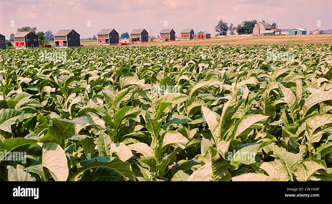 Tobacco Filed with drying hut in the background in Southern Ontario;Canada;North America - Stock Image