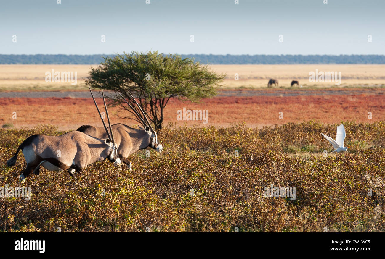Oryx (Oryx gazella), or gemsbok, and cattle egret (Bubulcus ibis) at Fischer's Pan. Etosha National Park, Namibia. - Stock Image
