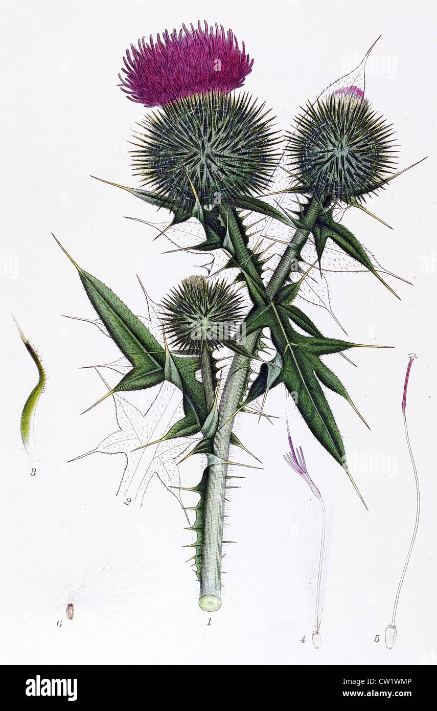 Spear Thistle - Stock Image