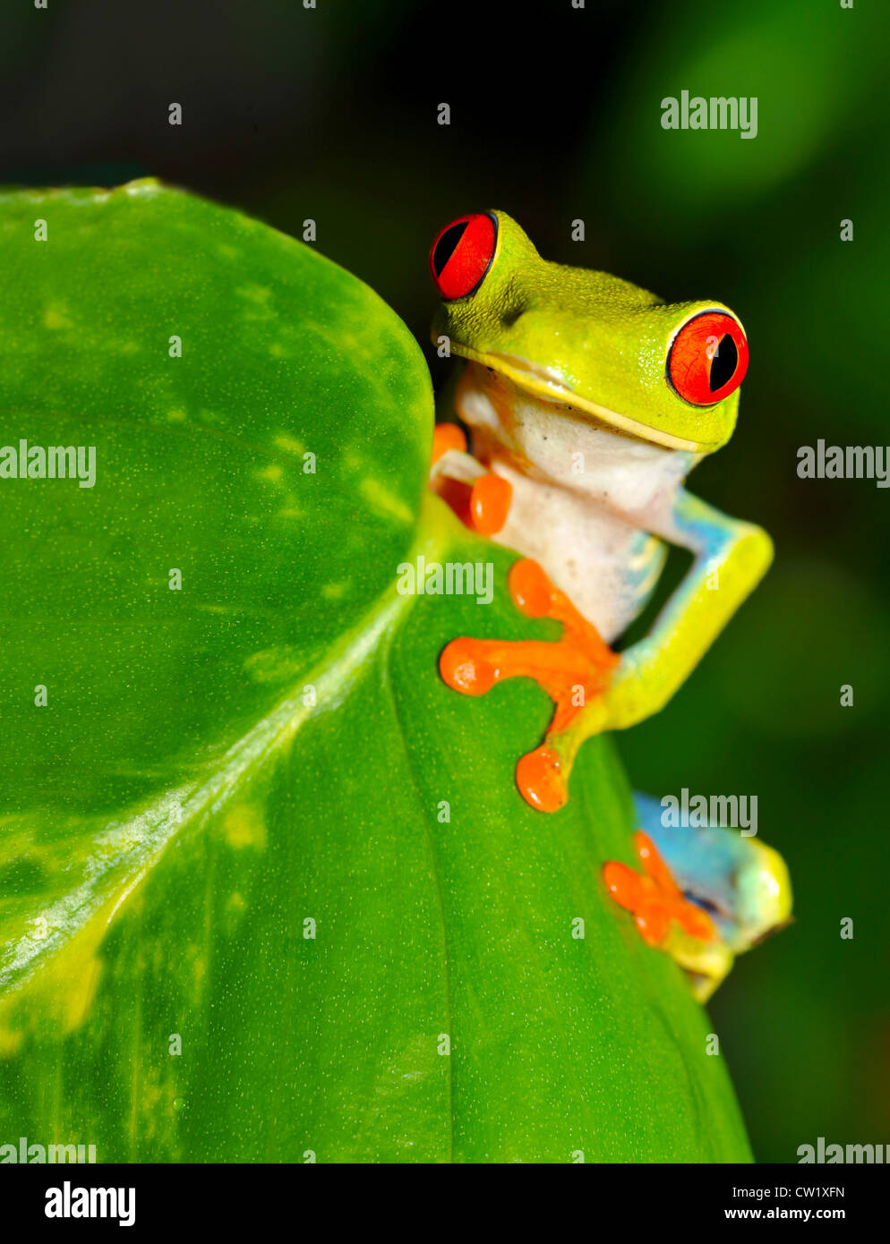 red eyed green tree or gaudy leaf frog on banana plant, lake arenal, costa rica, latin america.exotic amphibian - Stock Image
