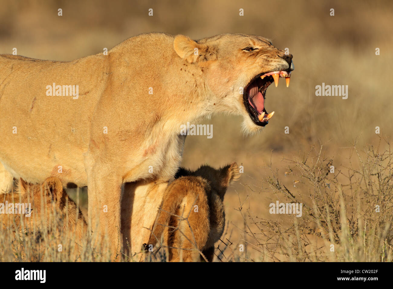 Aggressive lioness (Panthera leo) defending her young cubs, Kgalagadi Transfrontier Park, South Africa - Stock Image