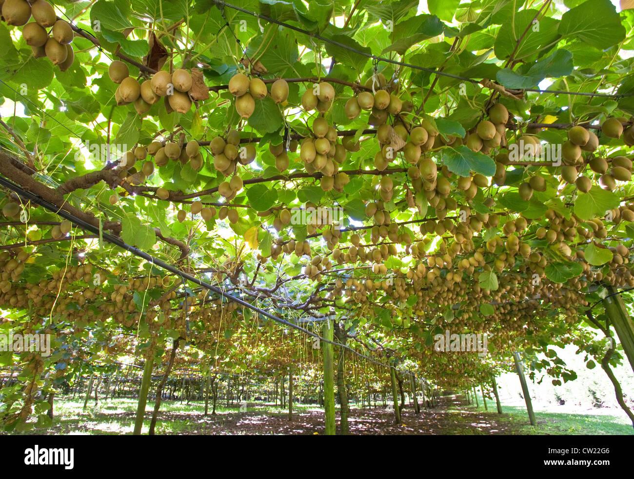 Kiwi fruits - Stock Image