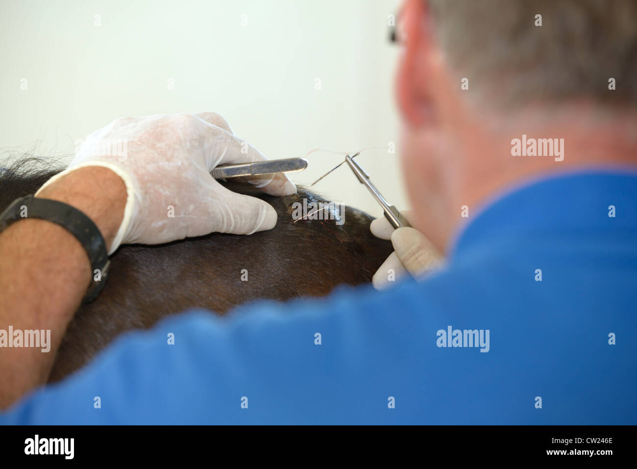 Horse veterinarian stitching a deep cut on the withers of a bay thoroughbred horse - Stock Image