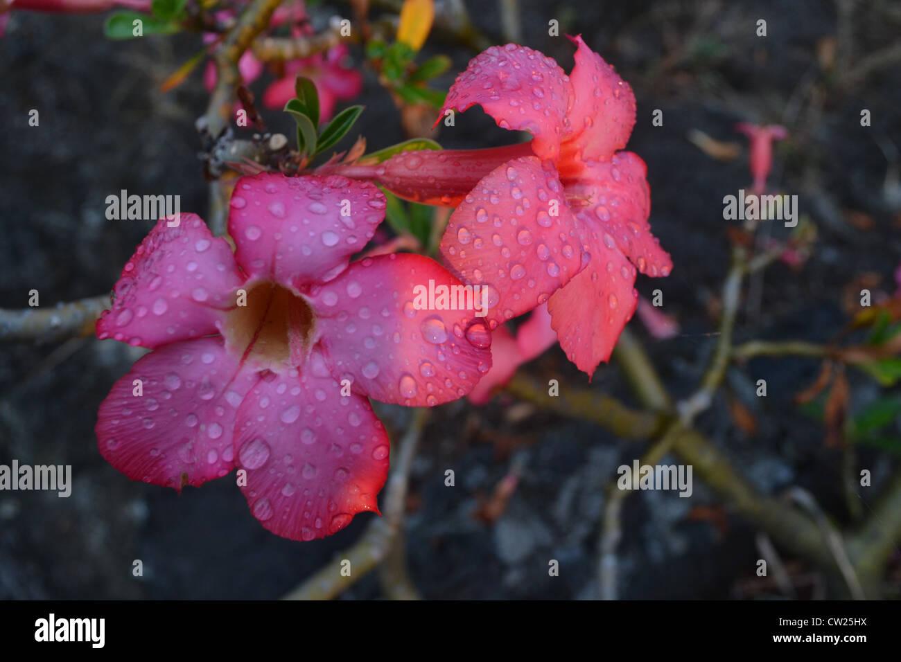 Hawaiian flower stock photos hawaiian flower stock images alamy blooming hawaiian flower drying off after an evening rain stock image izmirmasajfo