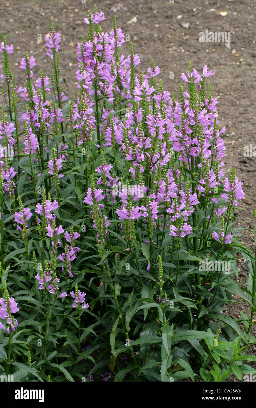 Obedient Plant or False Dragonhead, Physostegia virginiana 'Summer Spire', Lamiaceae. USA, North America. - Stock Image