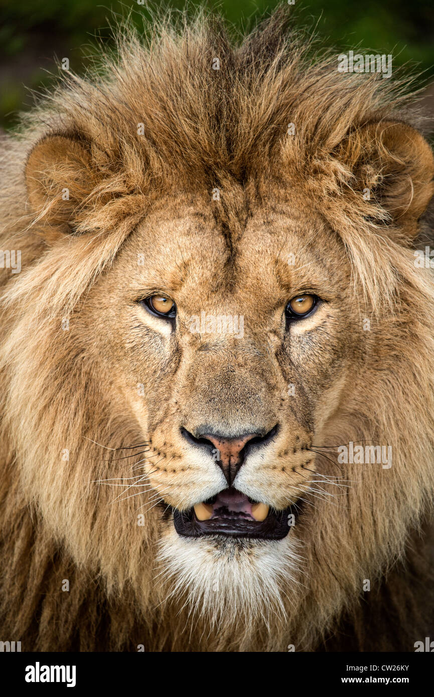 Close up of male lion's face Stock Photo: 49836303 - Alamy