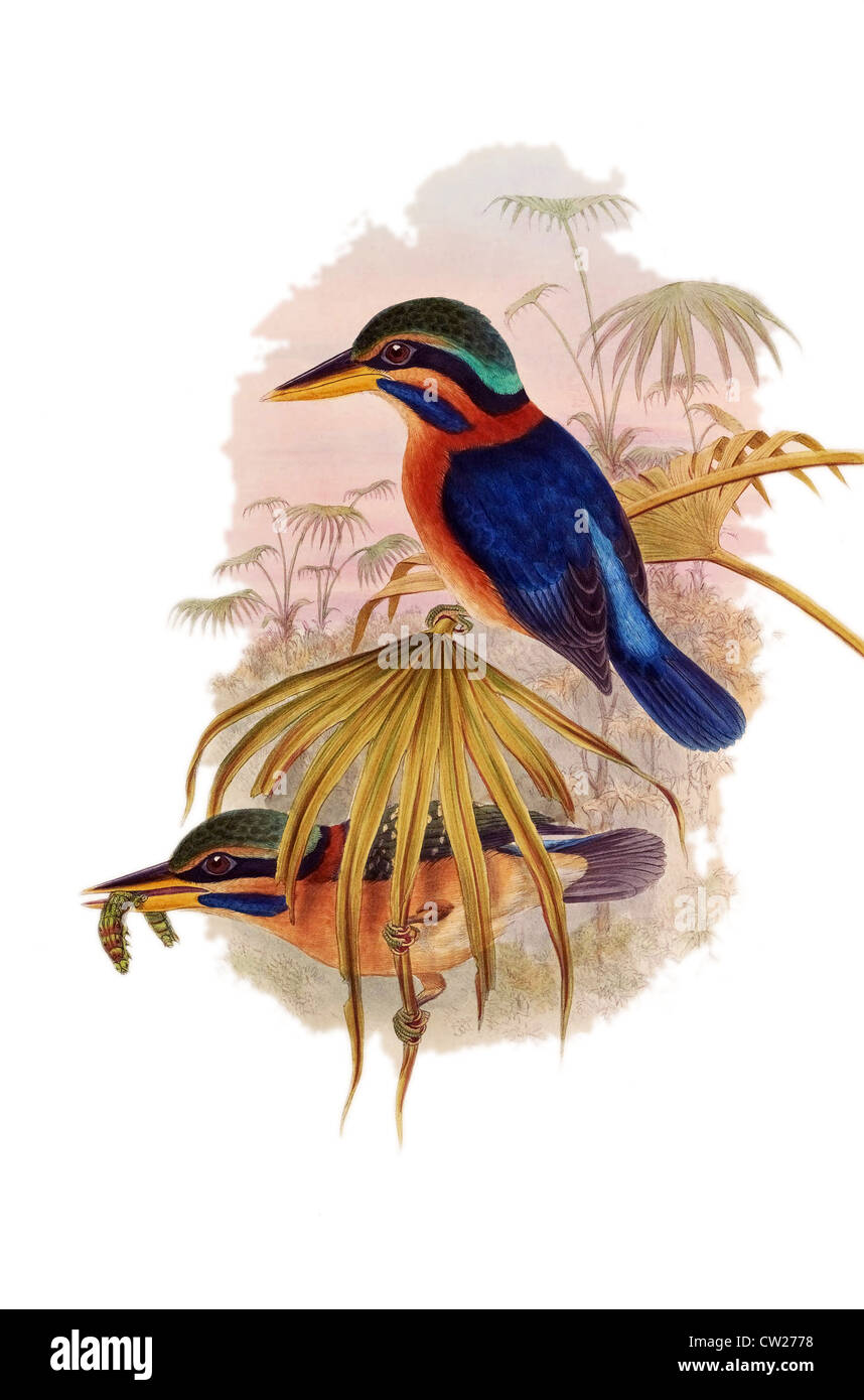 illustration of two Rufous-collared Kingfishers, one with worm in the beak, found in Brunei,Indonesia,Malaysia,Myanmar,Thailand Stock Photo