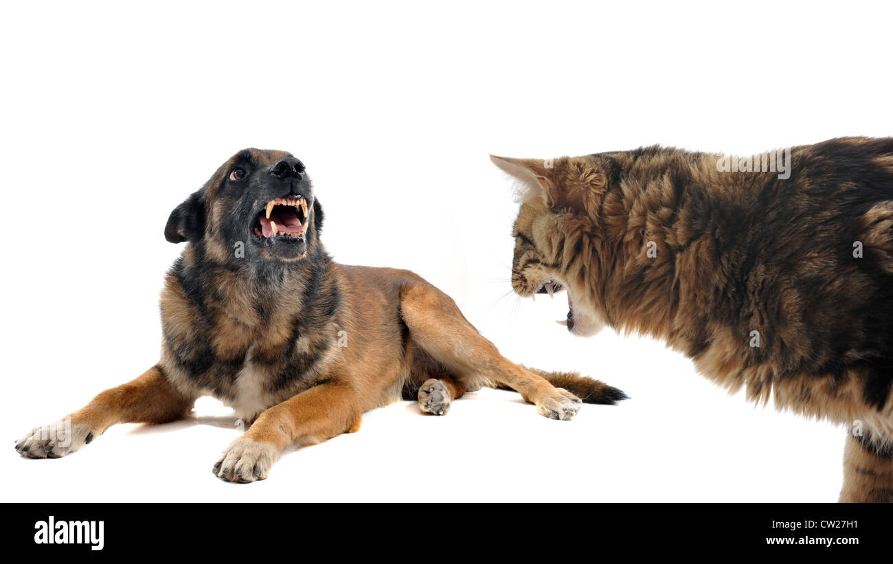 purebred belgian sheepdog malinois and cat angry in front of white background - Stock Image