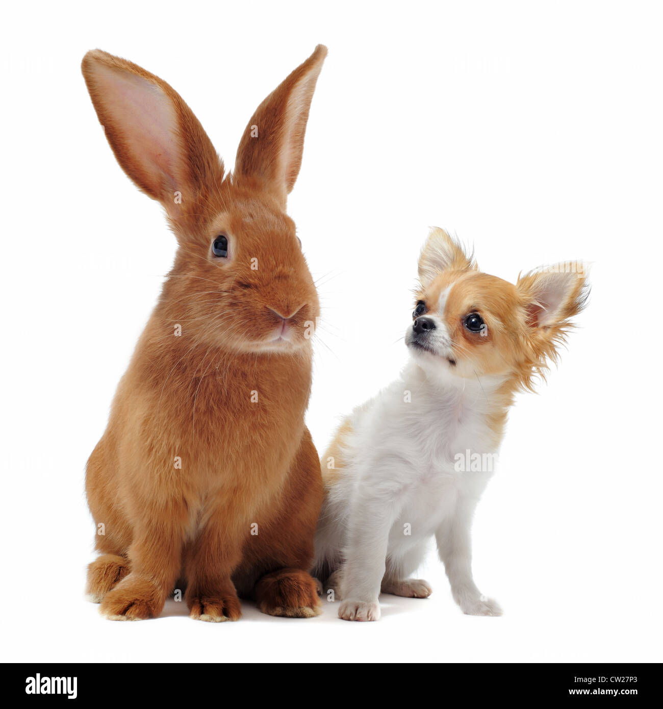 portrait of a cute purebred puppy chihuahua and bunny in front of white background - Stock Image