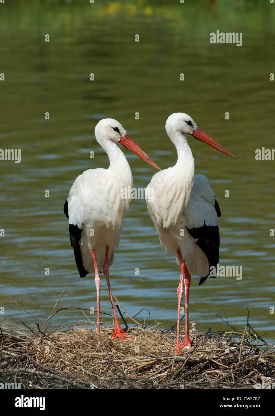 PAIR OF WHITE STORKS Ciconia ciconia STANDING ON NEST. FRANCE Stock Photo
