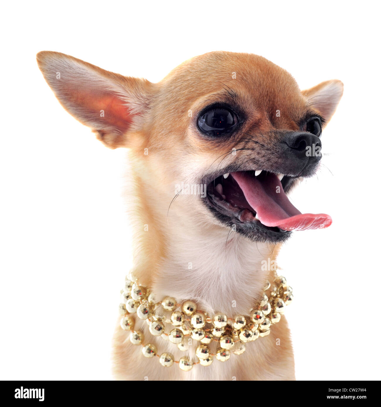 portrait of a angry purebred chihuahua with pearl collar in front of white background - Stock Image