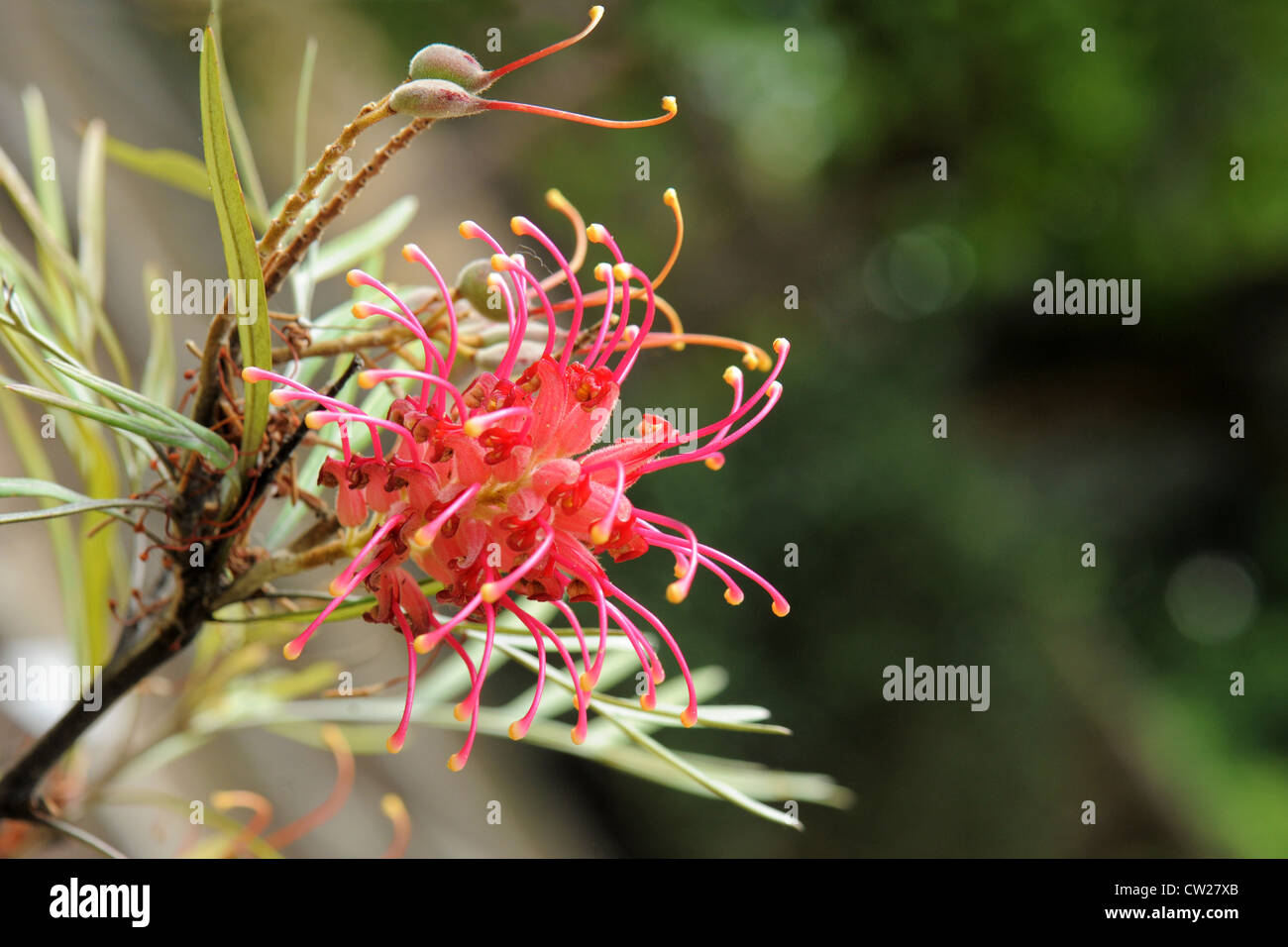 Olive Grevillea or Grevillea olivacea in a botanic parc inAustralia - Stock Image
